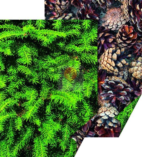 """Karton z naravnimi motivi """"Smreka in storži,"""" 50 x 70 cm, 300 g/m2, 1 kos"""