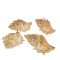 Školjke za dekroacijo, polžki, 4 kos